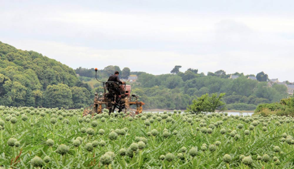 Plein-champs-legumes-artichauts-client