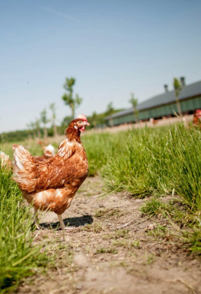 poule-aviculteur-volaille-production-agriculteur